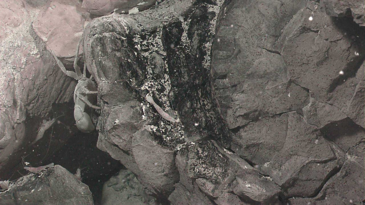 Vent shrimp and crabs on rock covered with microbial material Photo