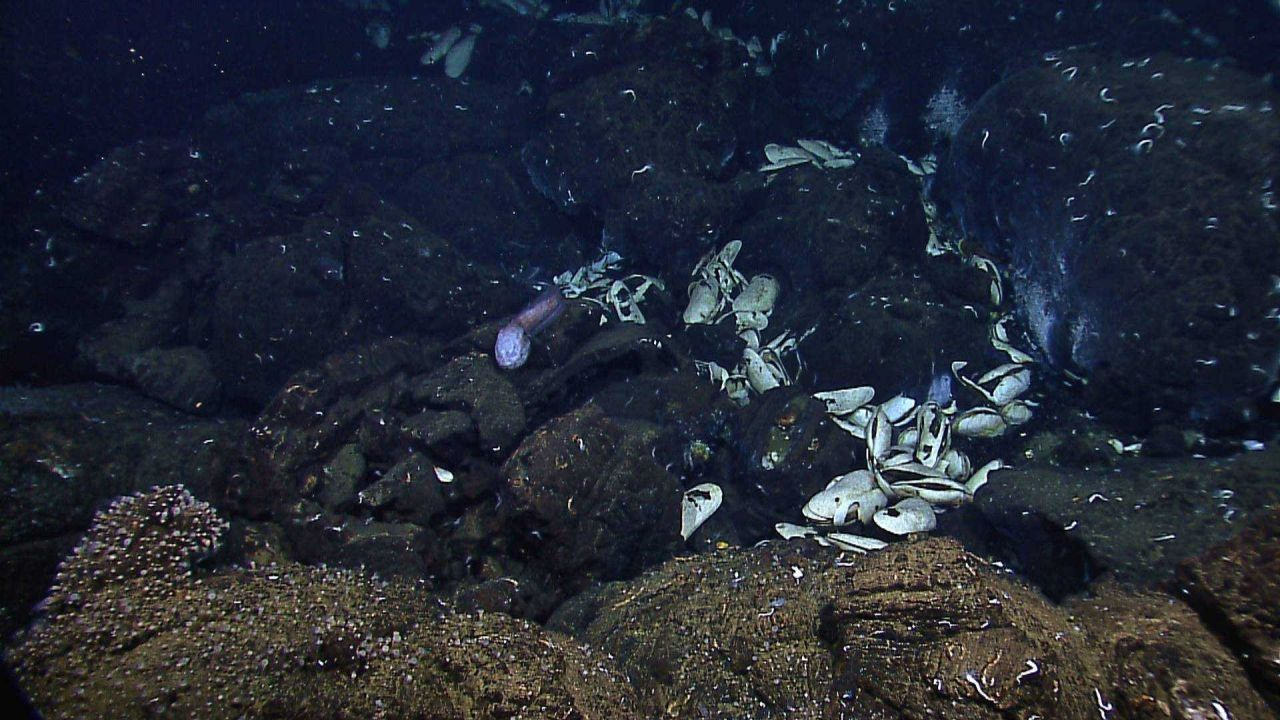 Clam shells, small white tube worms, small white anemones, and a large white-faced fish. Photo