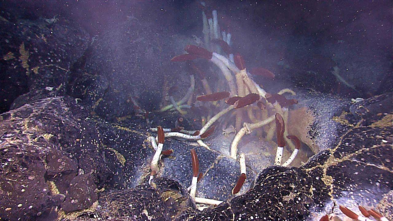 Riftia pachyptila tube worms Photo