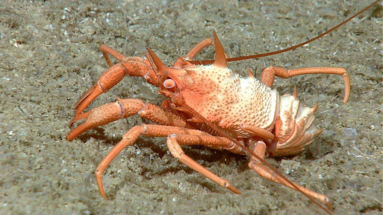 Orange spikey squat lobster Photo