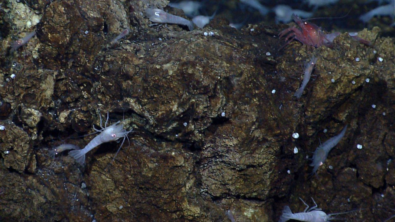 At least two species of shrimp near a vent at the Von Damm vent field on Mount Dent Photo