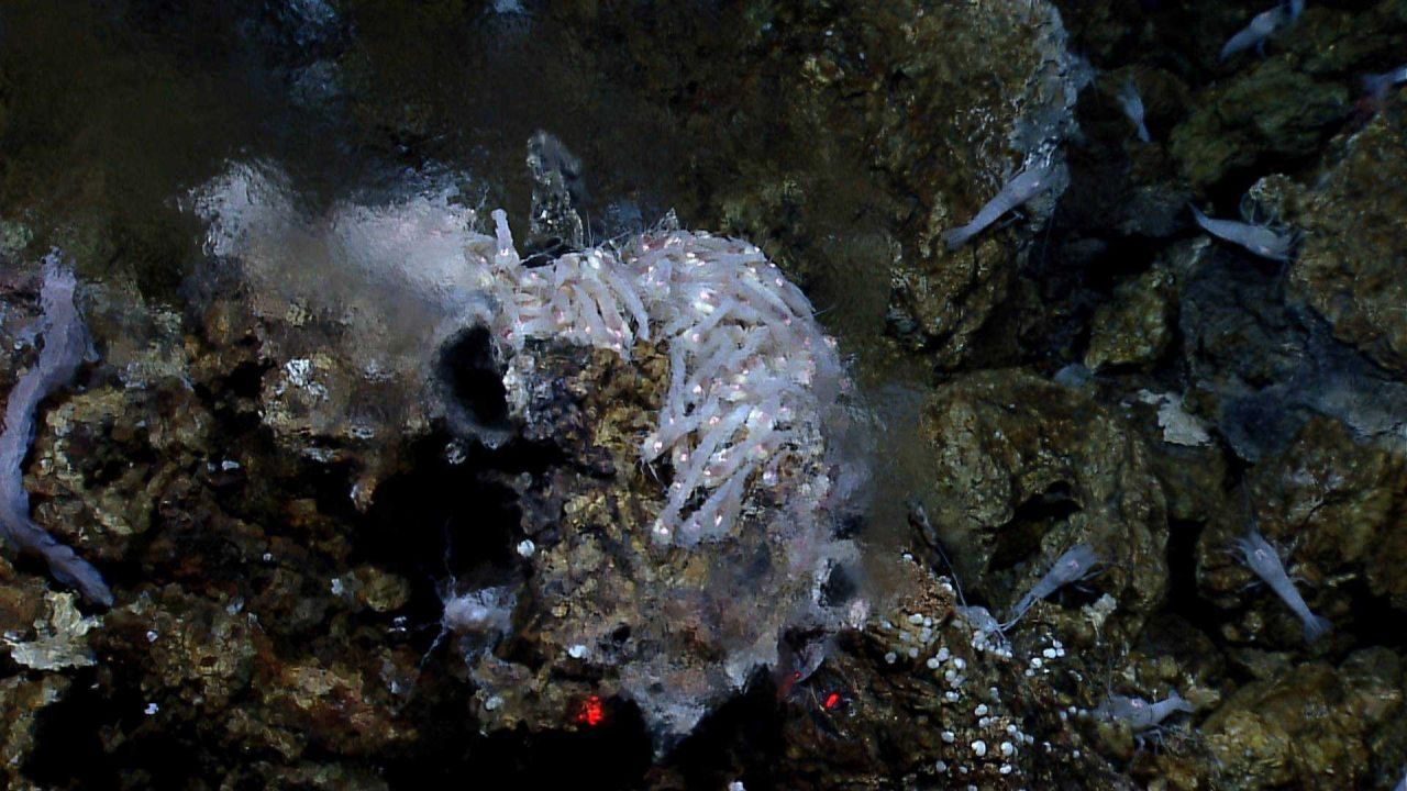 Shrimp and an eelpout at at hydrothermal vent spewing shimmering waters. Photo