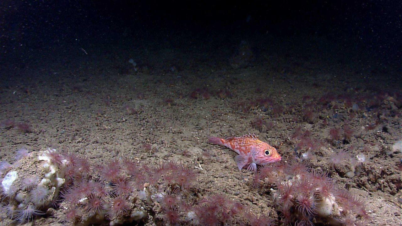 Deep sea fish - blackbelly rosefish (Helicolenus dactylopterus) Photo