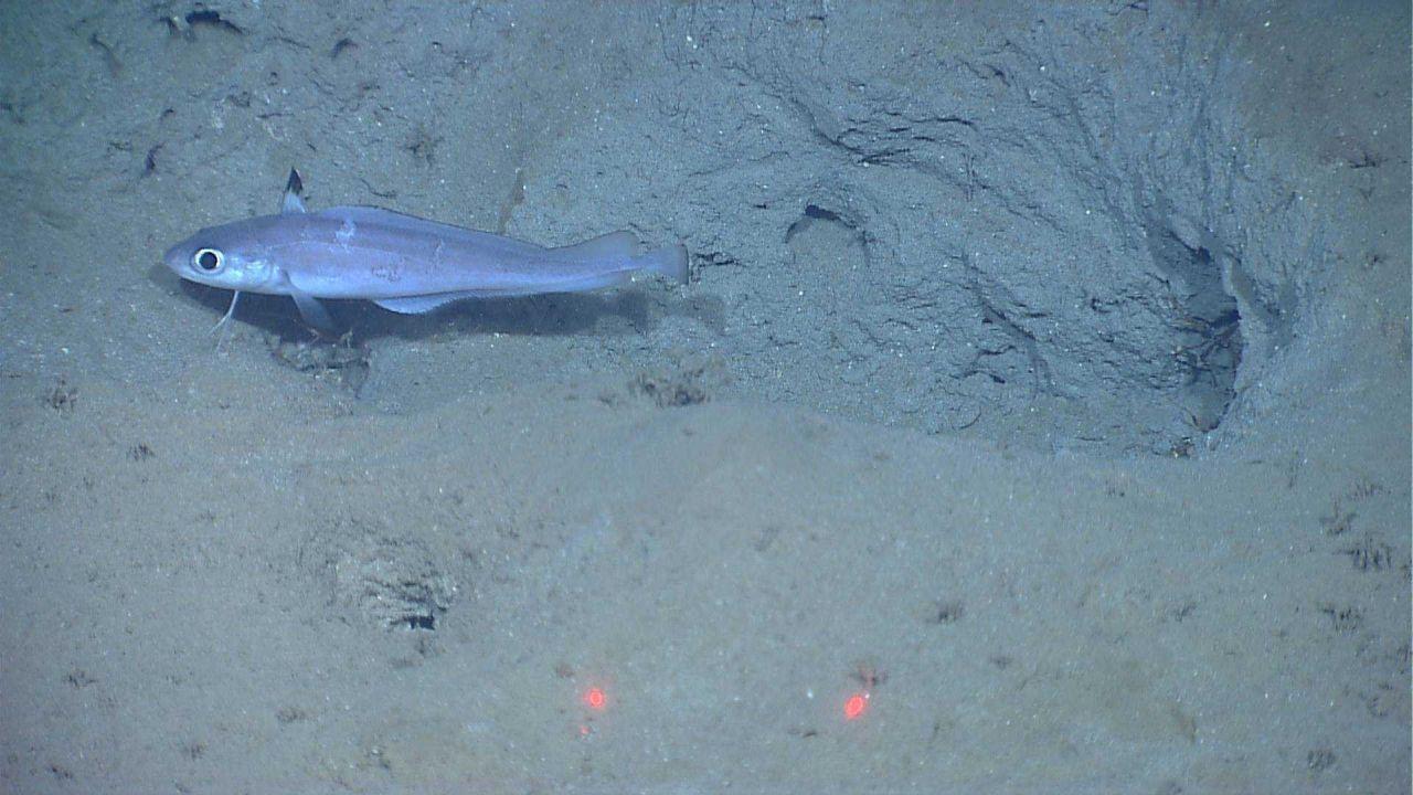 Deep sea fish - a morid cod (Laemonema sp.) Photo