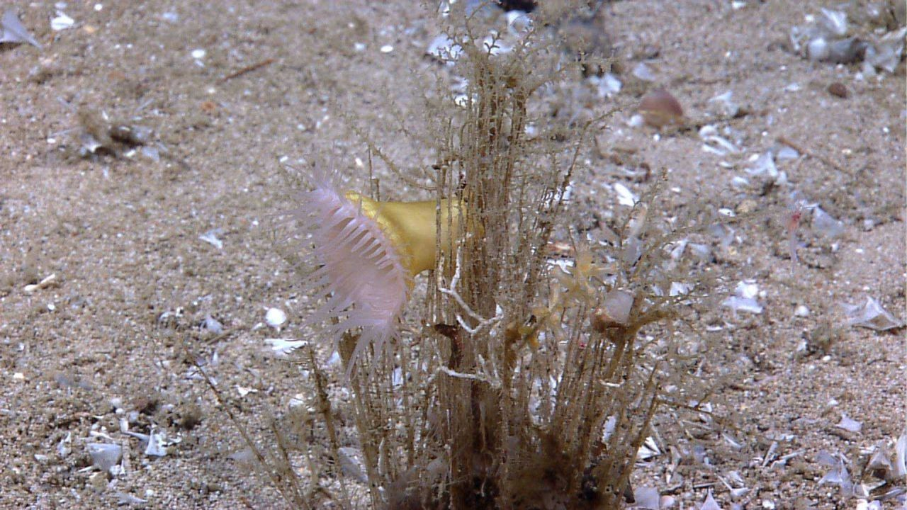 Hydroid colony with large white anemone Photo