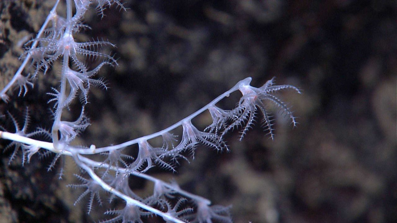 Closeup of polyps at tip of branches of a bamboo coral. Photo
