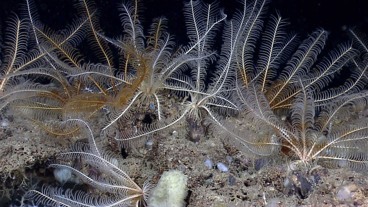 Seemingly a garden of white and yellow-brown crinoids. Photo
