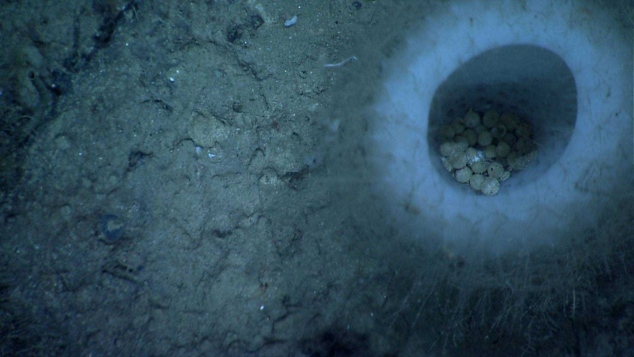 Looking down into a white vase sponge with round concretions? round animals? perhaps the hiding place of pieces of eight from Blackbeard's treasure. Photo