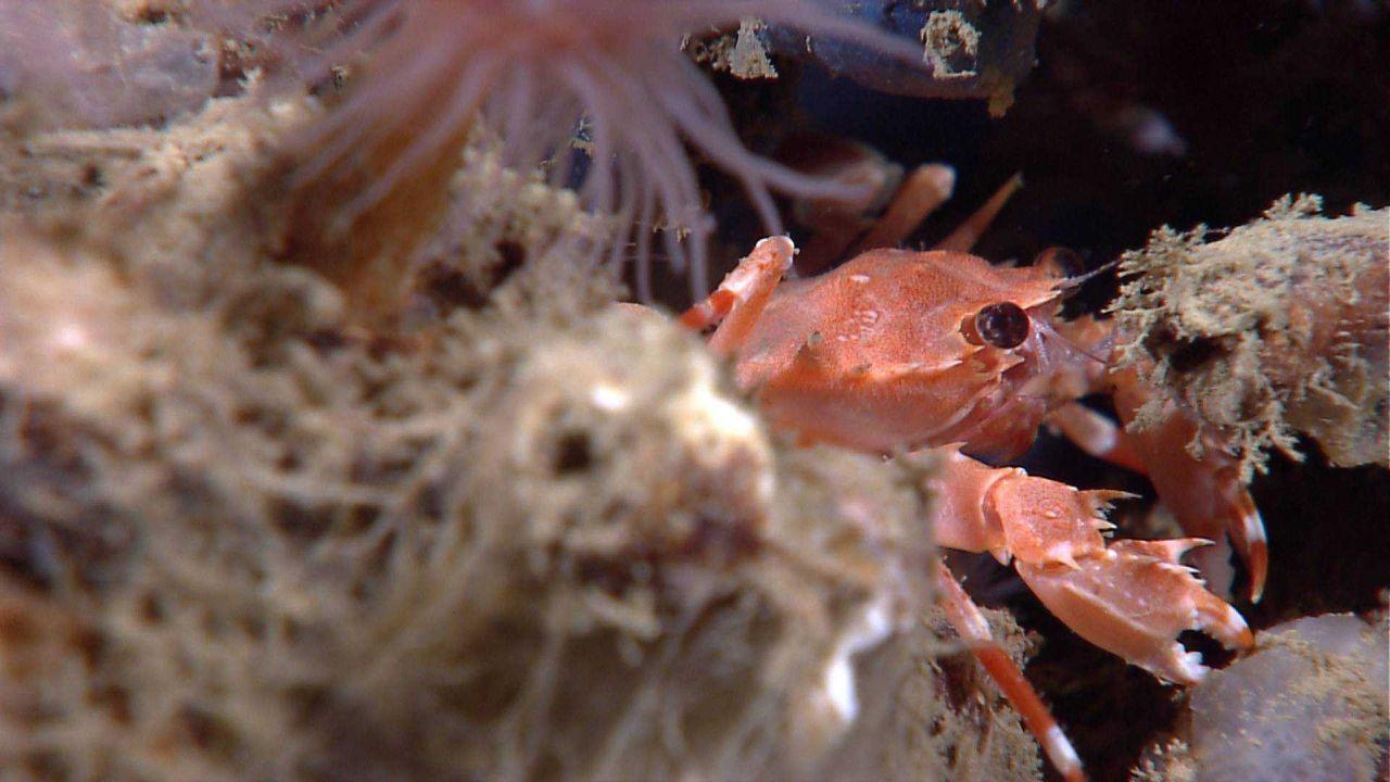 Bathyal swimming crab (Bathynectes longispina) Photo