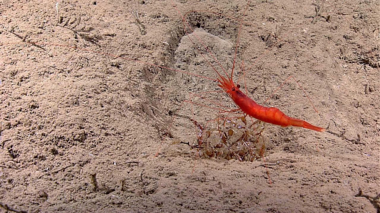 A royal red shrimp in a depression on a sand bottom. Photo