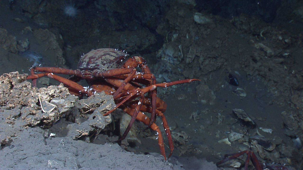 Red crabs (Chaceon quinquedens) mating Photo