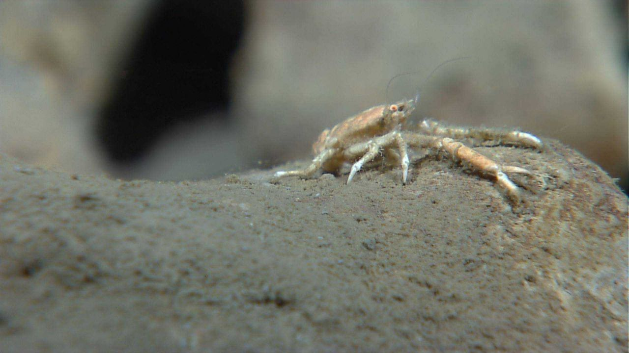 A squat lobster, possibly on the rim of a sponge. Photo