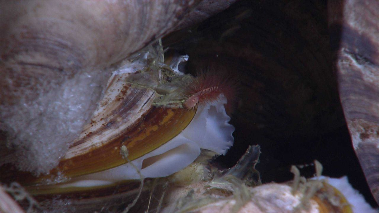 Methane bubbles trapped and forming hydrate below a Bathymodiolus mussel Photo