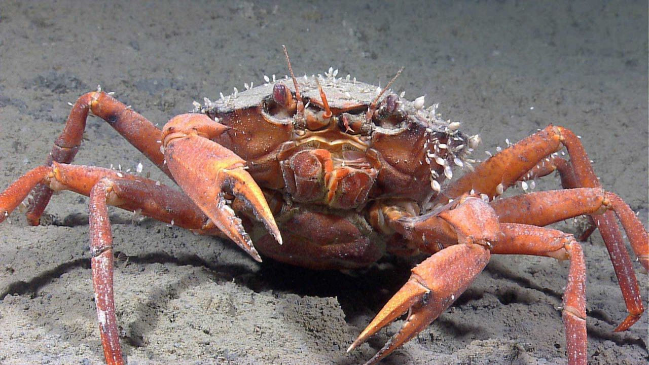 Closeup of a crab (Chaceon sp.) with numerous small white barnacles attached. Photo