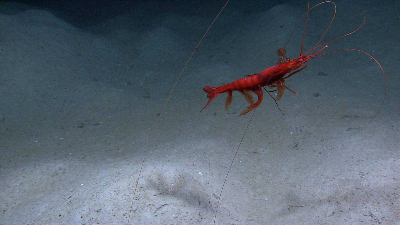 A royal red shrimp (Pleoticus robustus) with huge antennae Photo