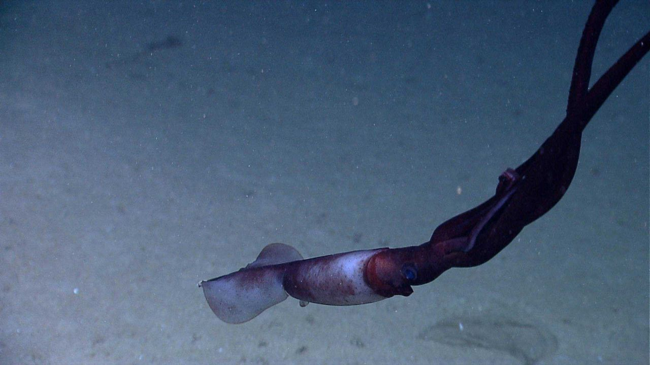 Large squid cruising over white sand and mud seafloor Photo