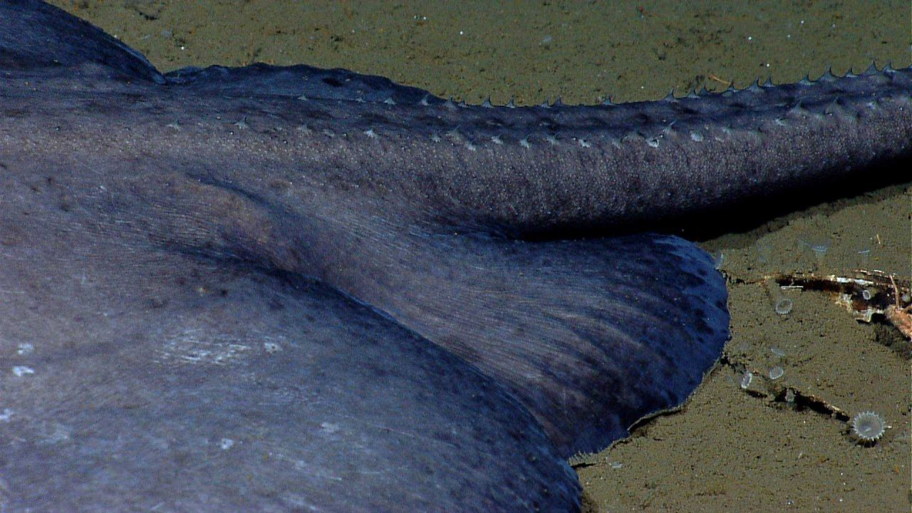 Spiked tail of large skate Photo