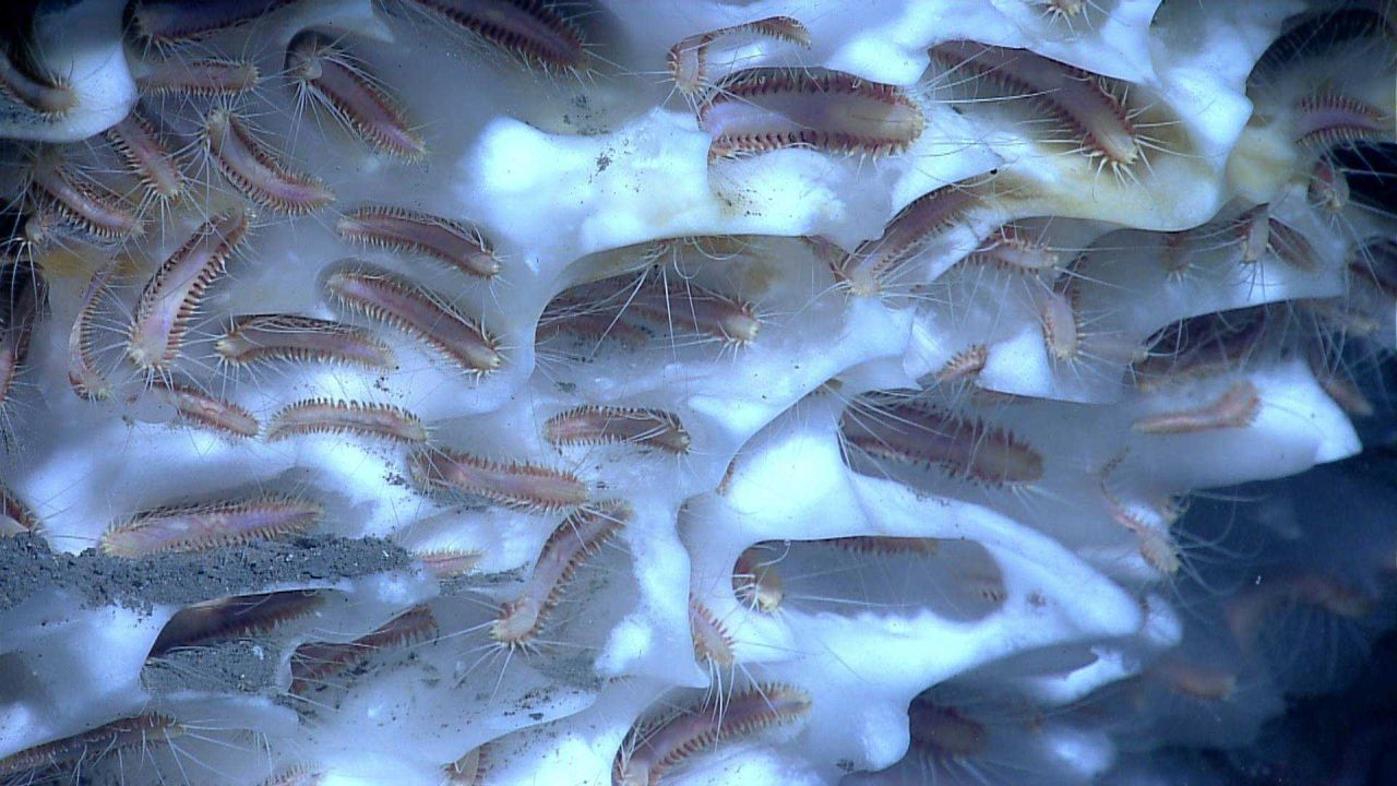 An aggregation of methane ice worms inhabiting a white methane hydrate Photo