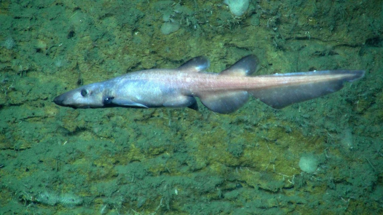 This strange looking, unidentified species of deep-sea shark was seen several times at a particular ledge system in Norfolk Canyon. Photo
