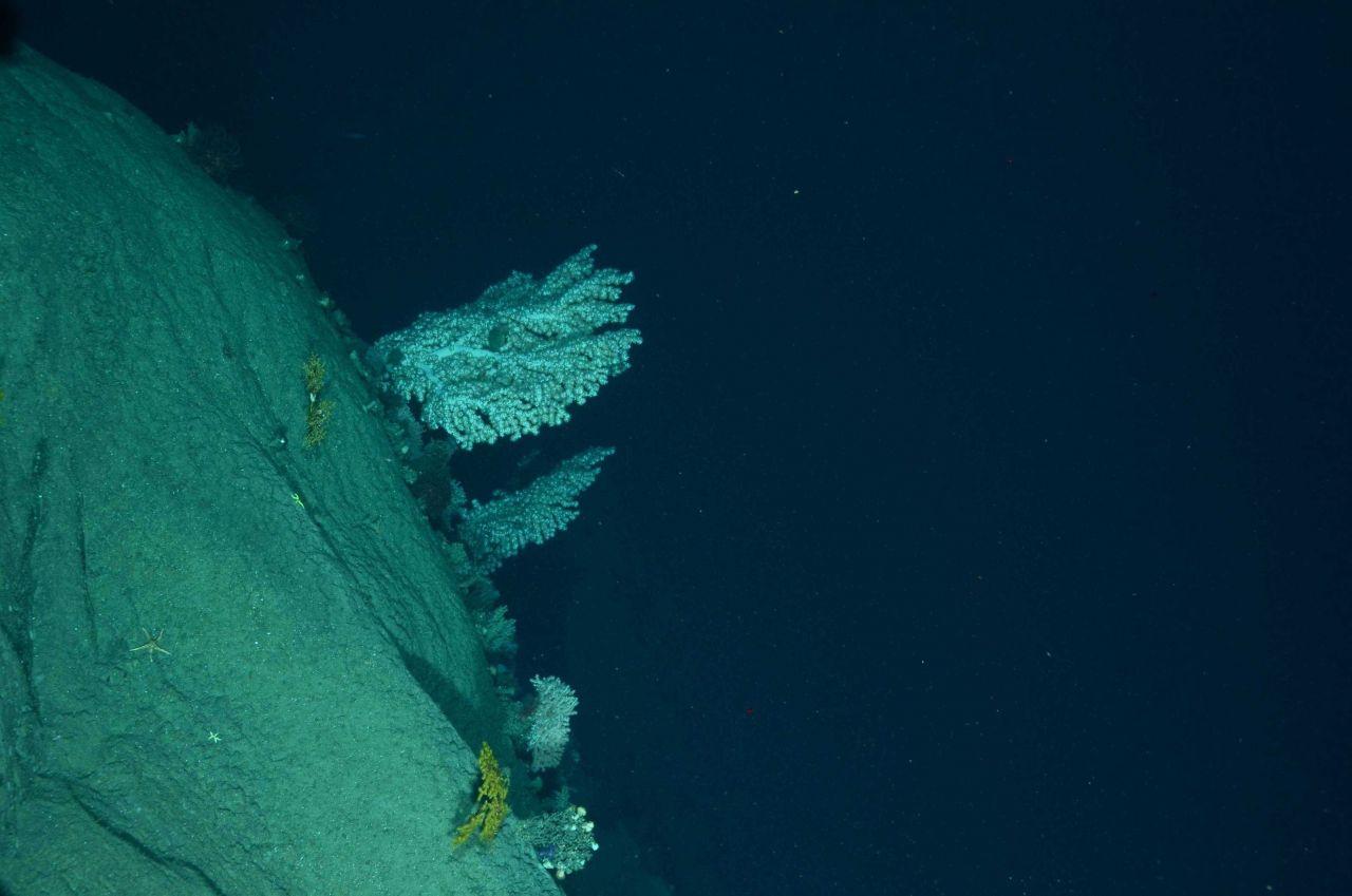 Large bubble gum corals (Paragorgia sp Photo