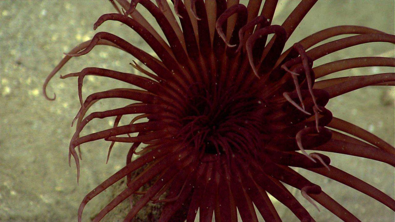 Closeup of brownish red cerianthid anemone. Photo