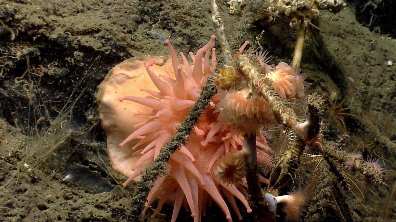 A large peach-colored anemone with crinoids, cup corals, and a large goose-neck barnacle. Photo
