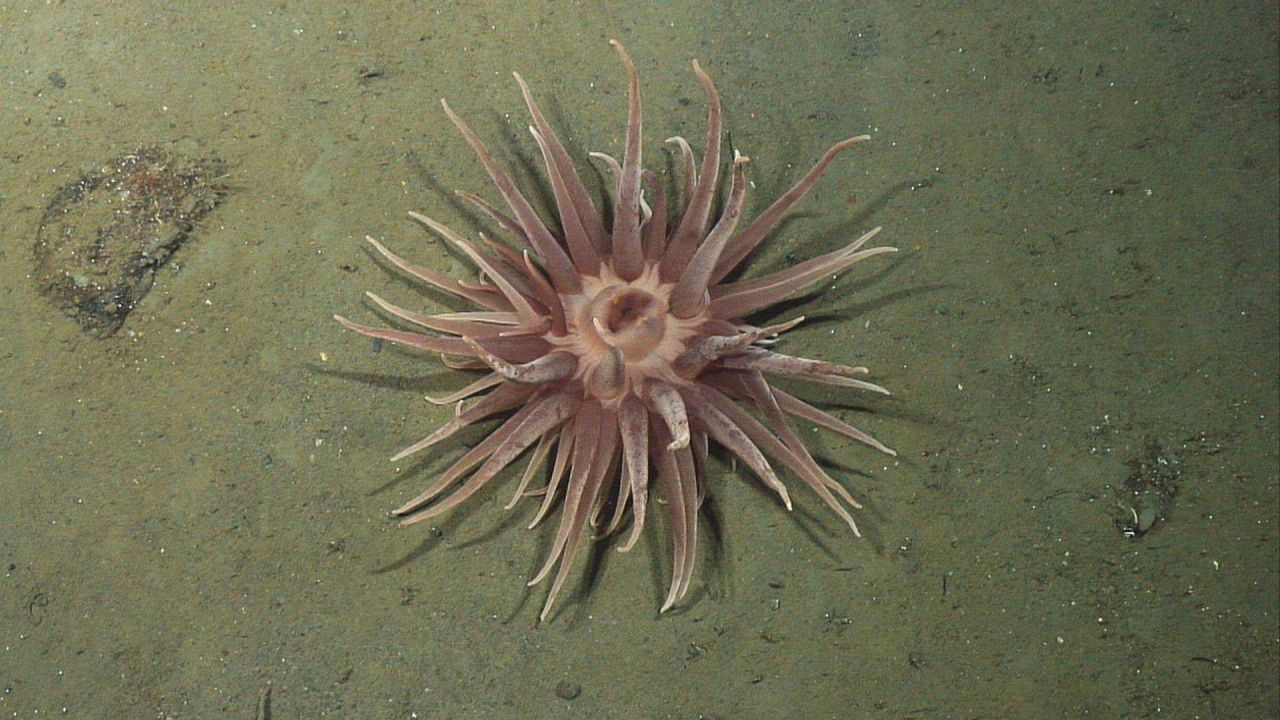 A large pinkish brown anemone on a sediment substrate. Photo