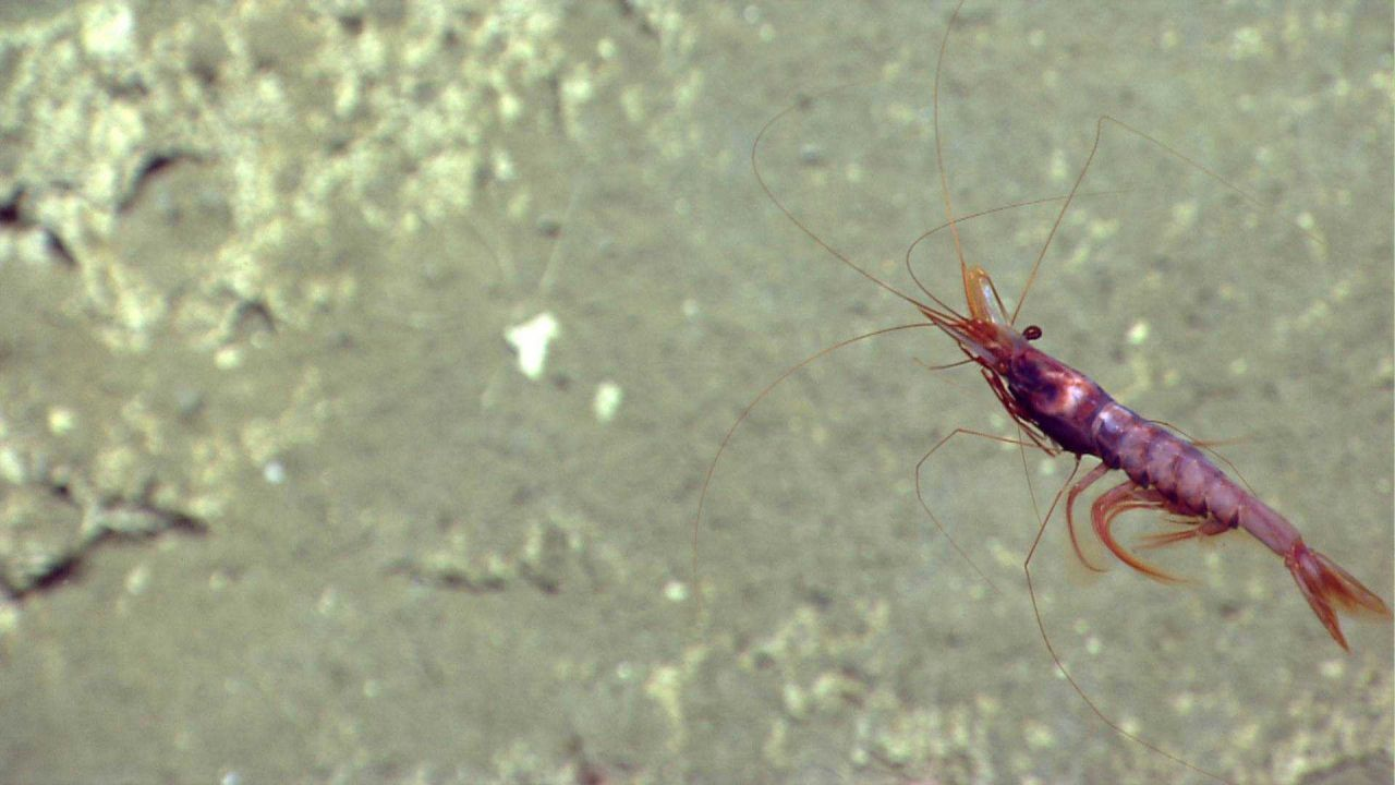 A swimming red shrimp. Photo