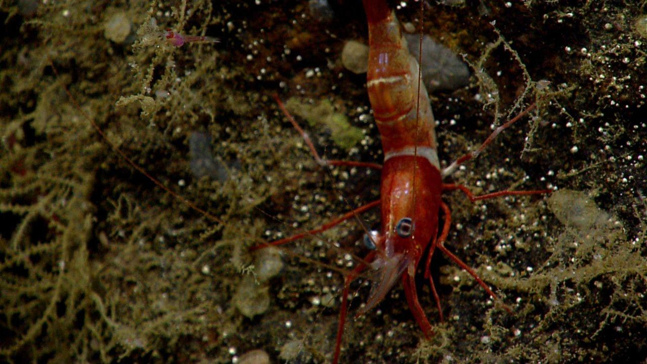 A red and white banded shrimp Photo
