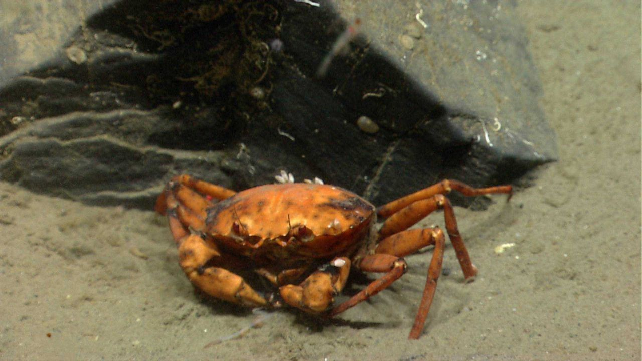 Deep sea red crab Chaceon quinquedens. Photo