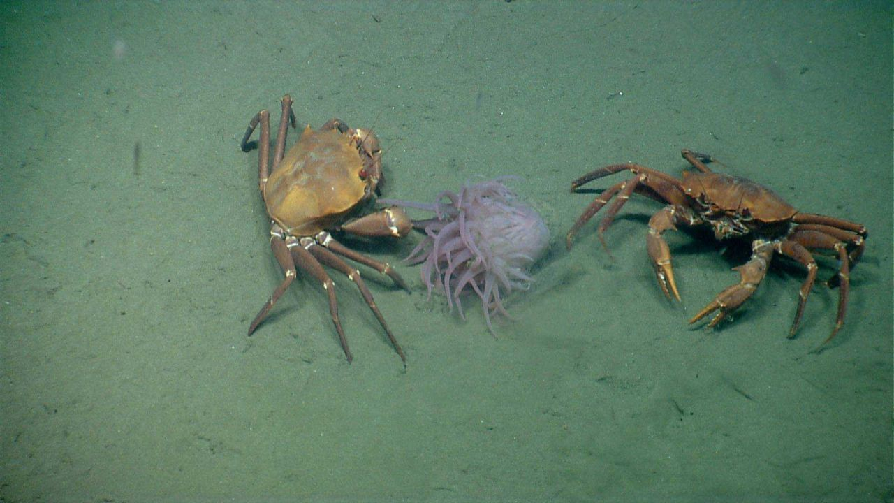 Deep sea red crabs Chaceon quinquedens apparently eating an anemone. Photo