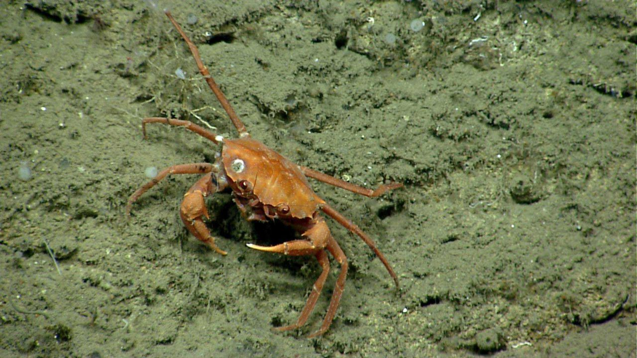 Deep sea red crab Chaceon quinquedens with a cracked shell. Photo