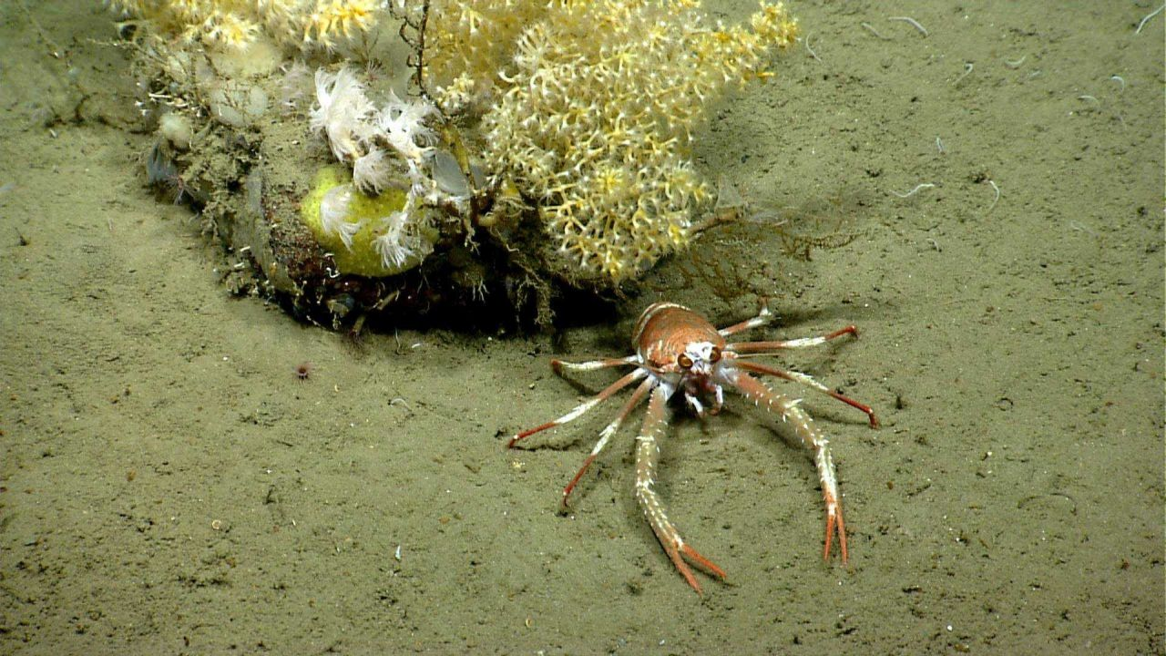 Squat lobster at base of small rock with coral and sponges. Photo