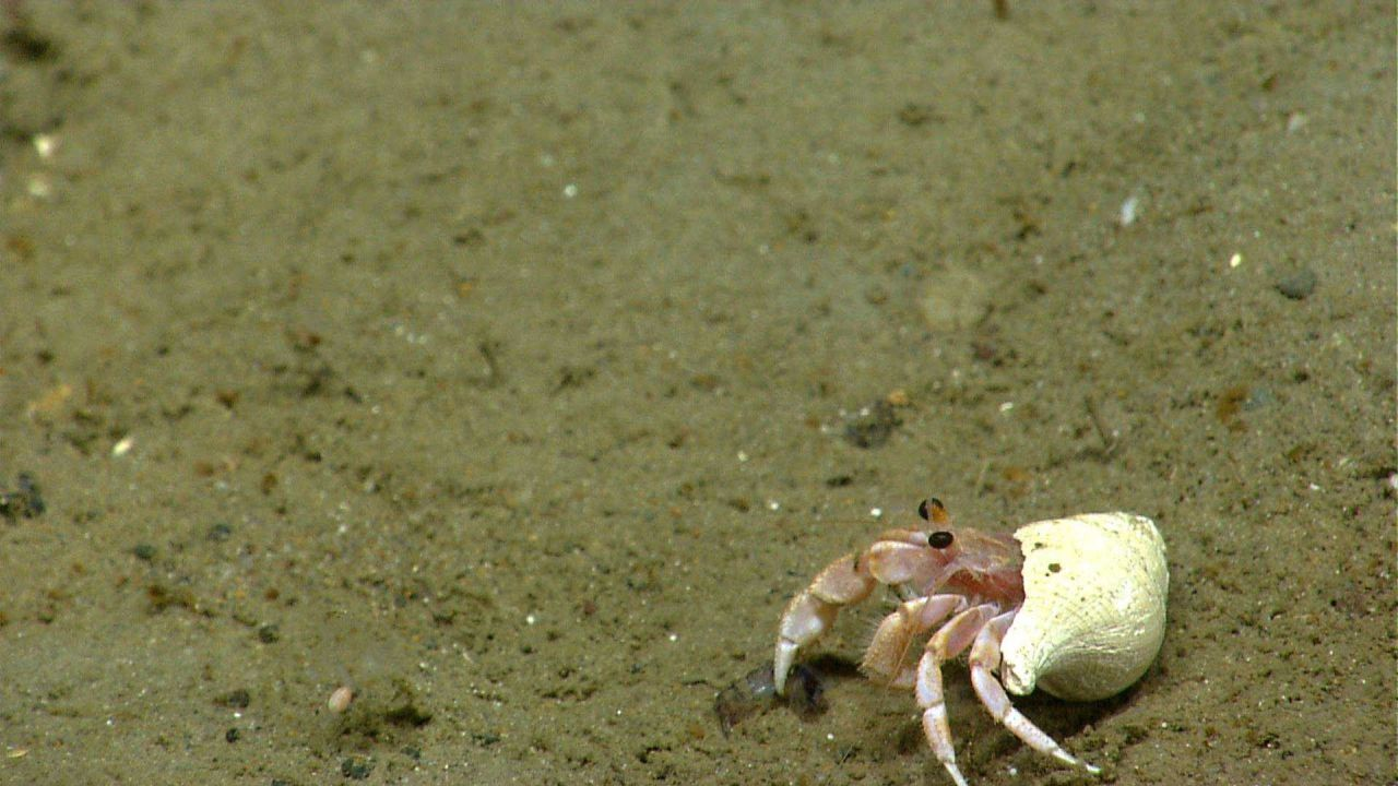 Hermit crab that has captured an amphipod in right claw. Photo