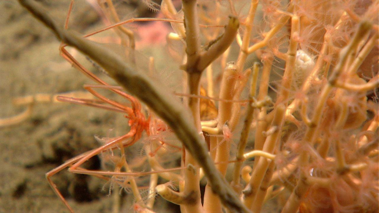 Pycnogonid crab on a small octocoral. Photo