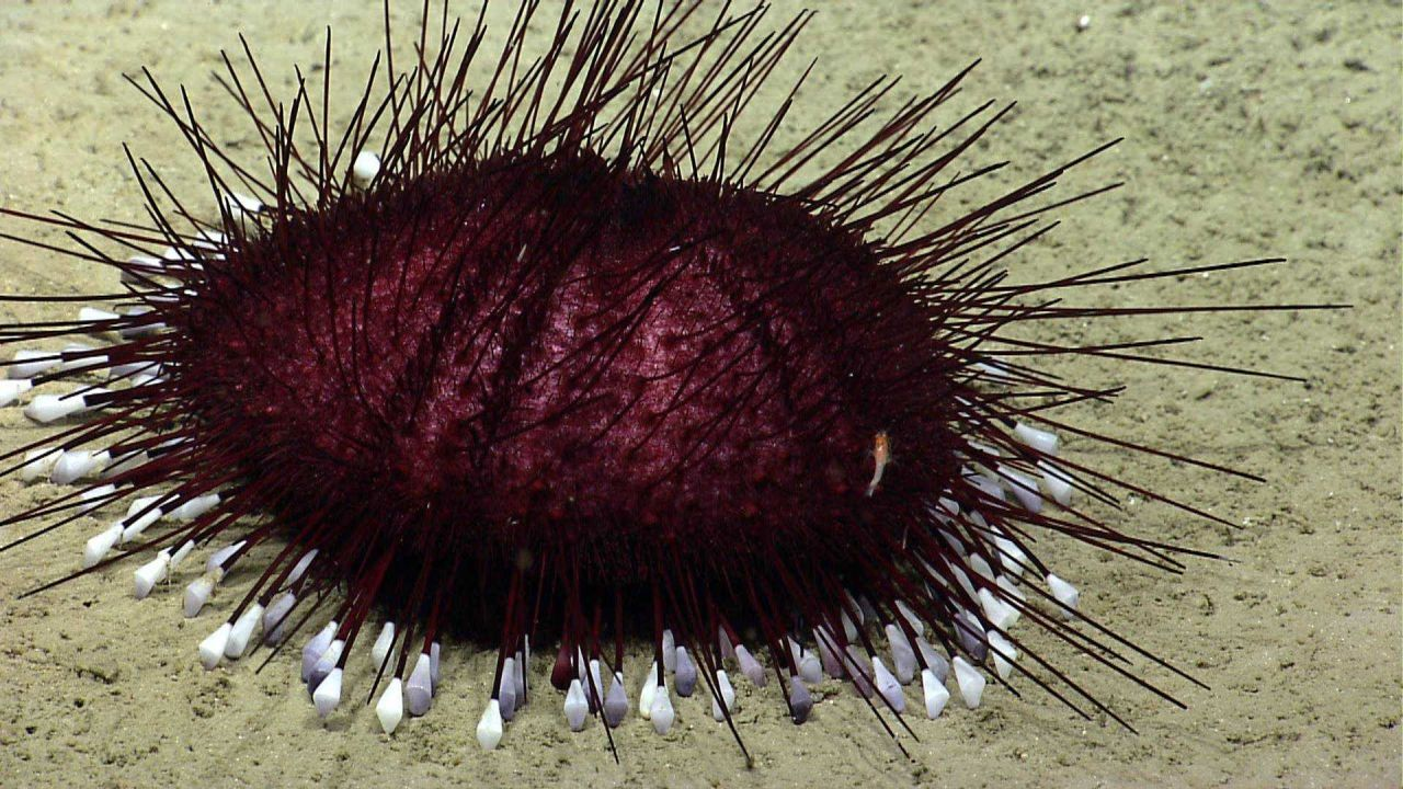 Sea urchin. Photo