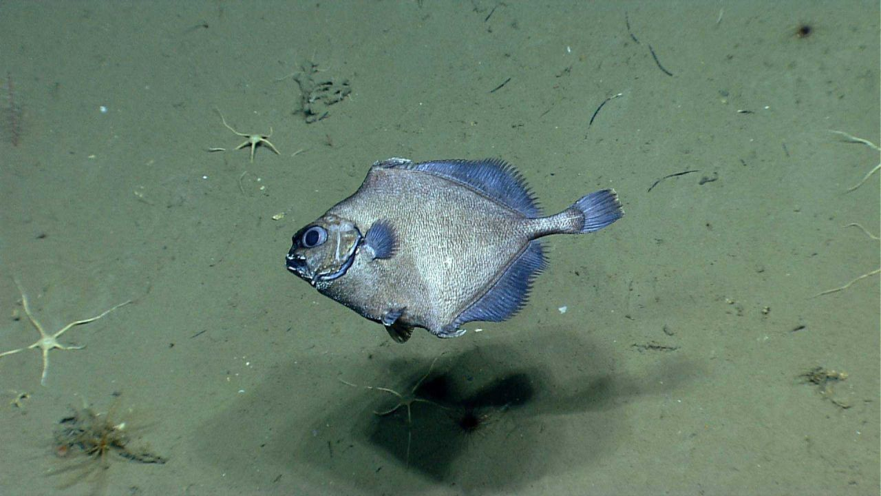 Deep sea fish. False boarfish (Neocyttus helgae) Photo