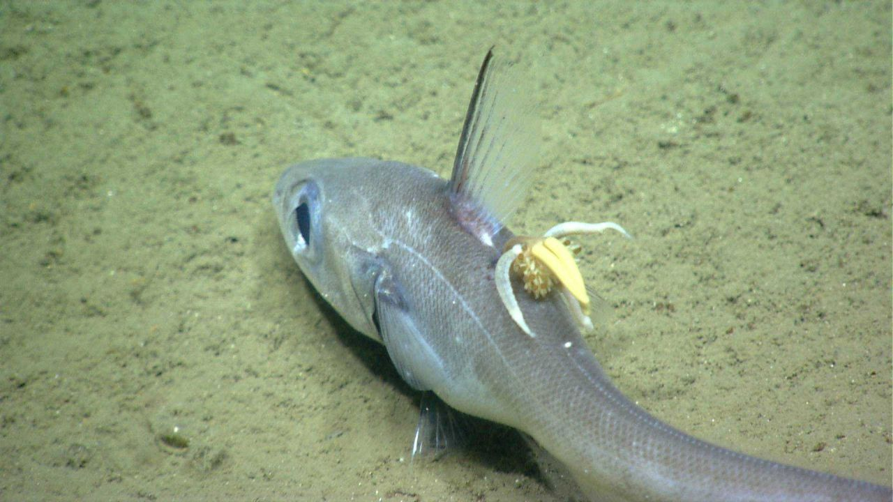Deep sea fish. A parasitic copepod attached to a grenadier / rattail Photo