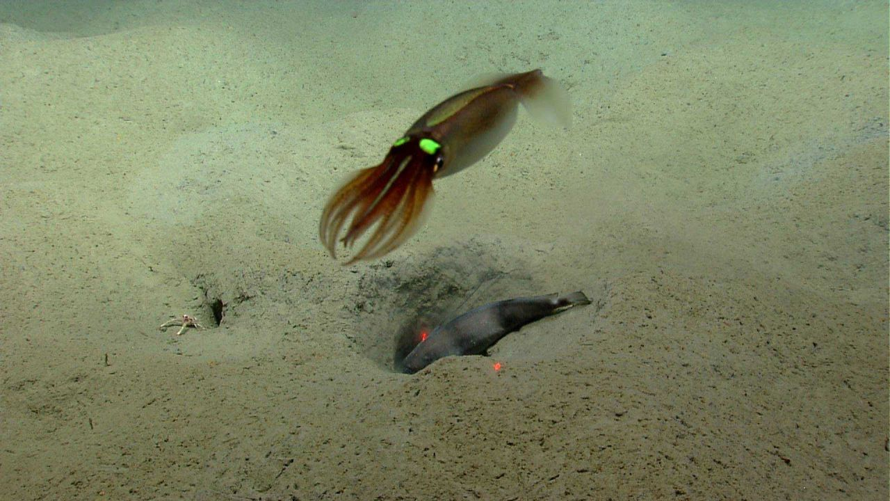 Large squid with green light organs flying over longfin hake and squat lobster. Photo