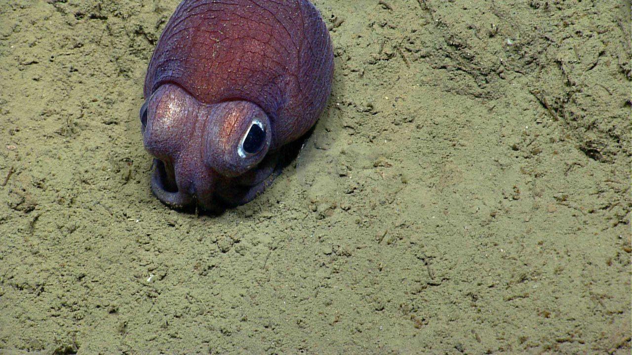 Bobtail squid on bottom. Photo