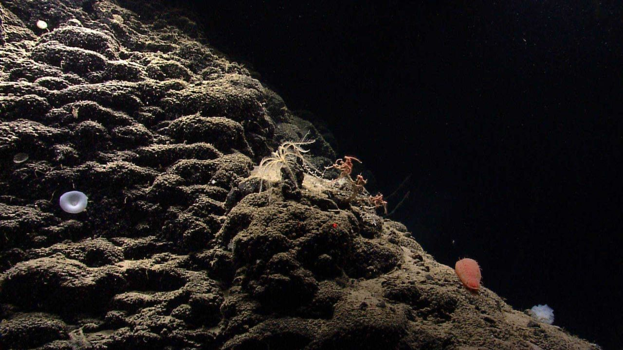 Hummocky appearing lava surface with lily-like white sponge, yellow feather star crinoid, orange holothurian, and multiple brittle stars on a bamboo c Photo