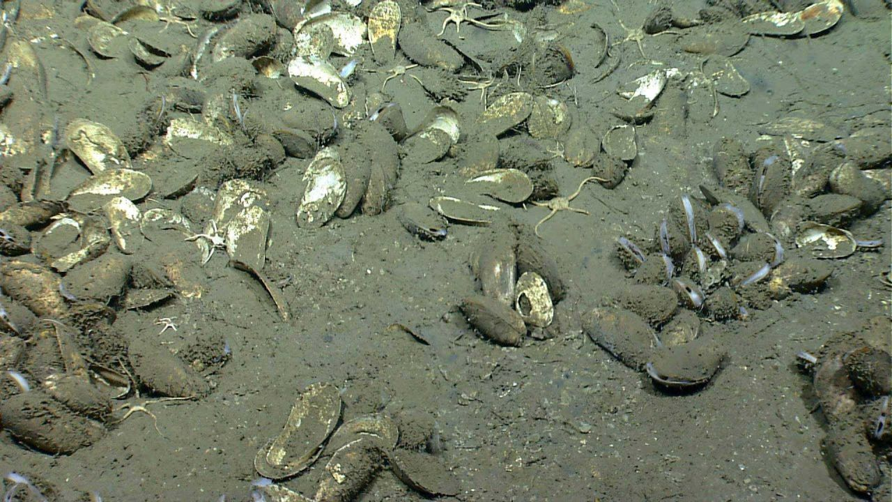 Live and dead bathymodiolus mussels at a cold seep site Photo