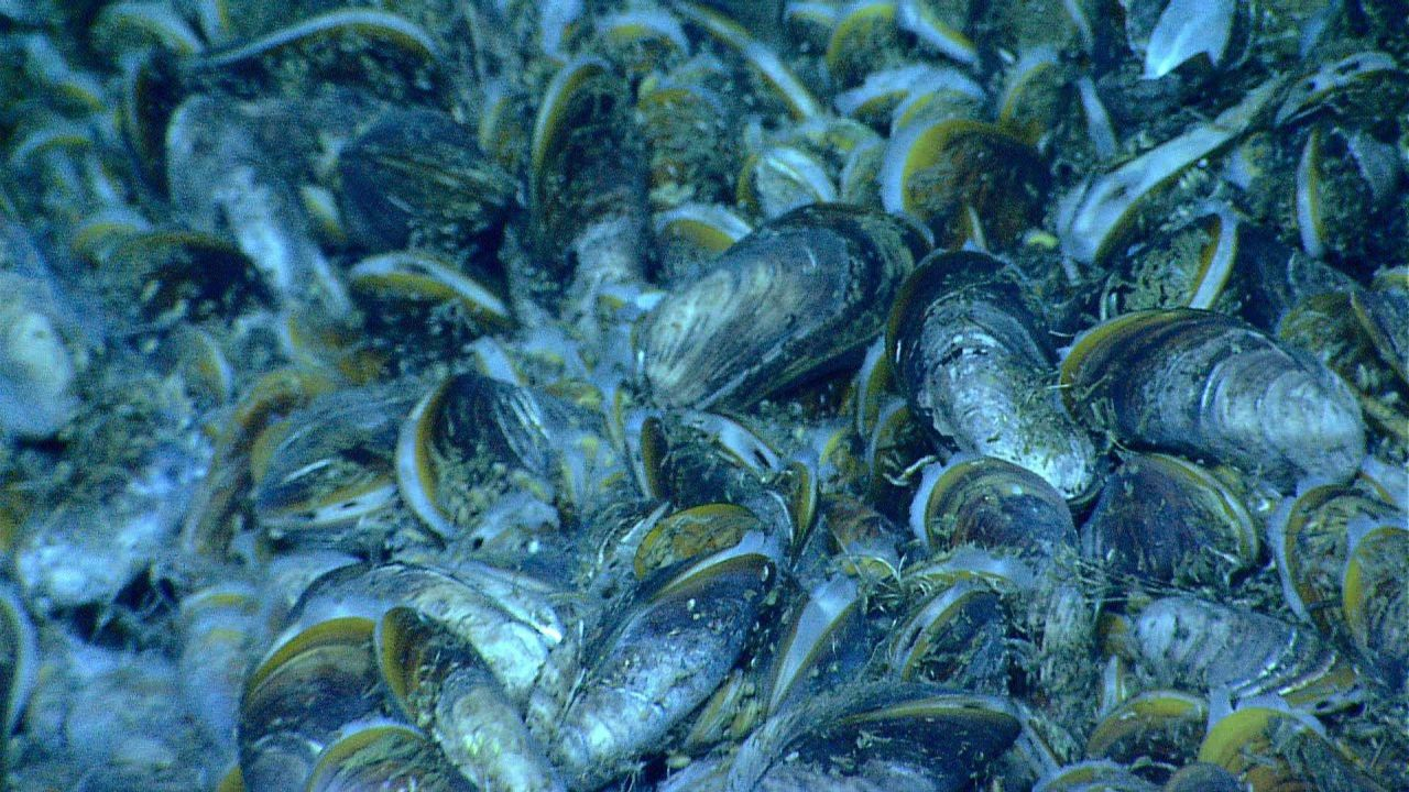 Bathymodiolus mussels at a cold seep site covered with white bacterial material. Photo