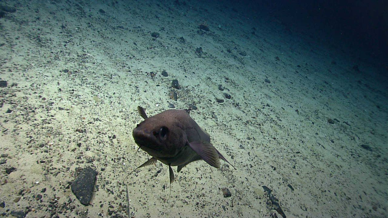 Curious fish inspecting ROV over a white sediment covered area of Mytilus Seamount. Photo