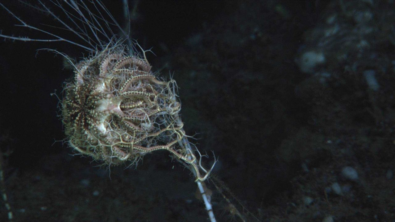 A basket star on a bamboo coral. Photo