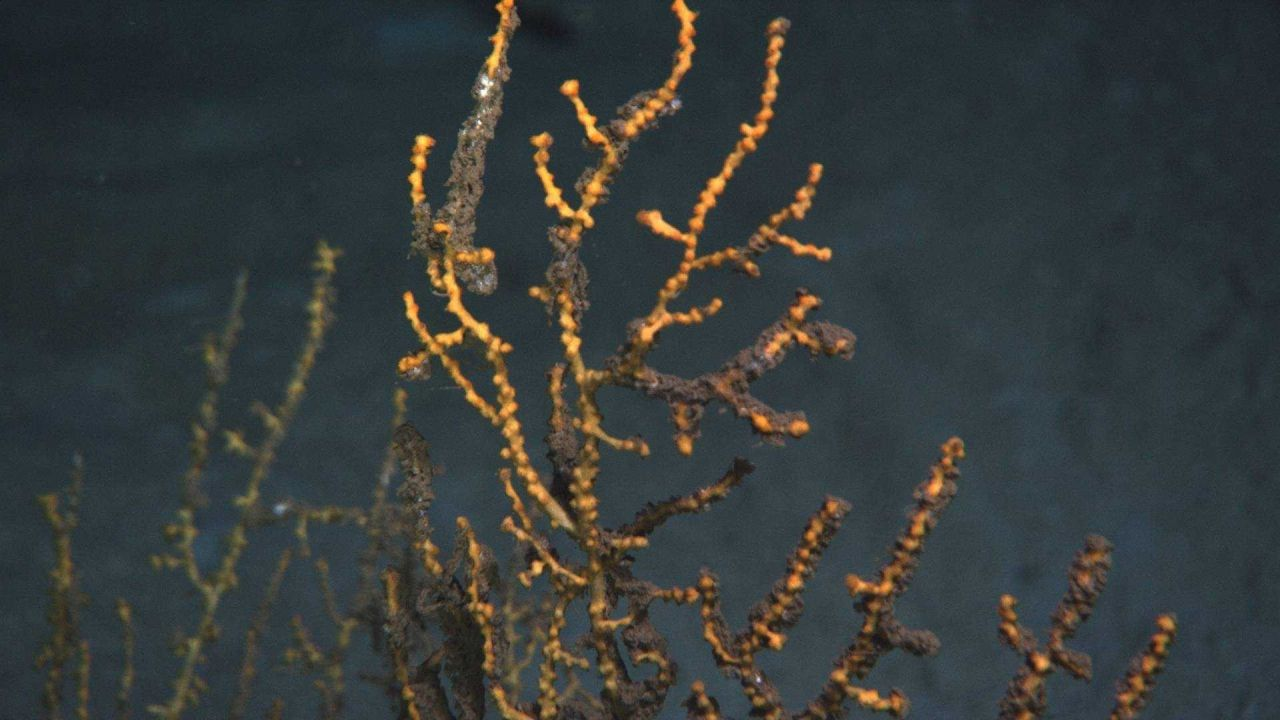 A closeup view of the upper portion of a yellow octocoral with parts of branches , with tissues and polyps present, covered with a brown flocculent ma Photo