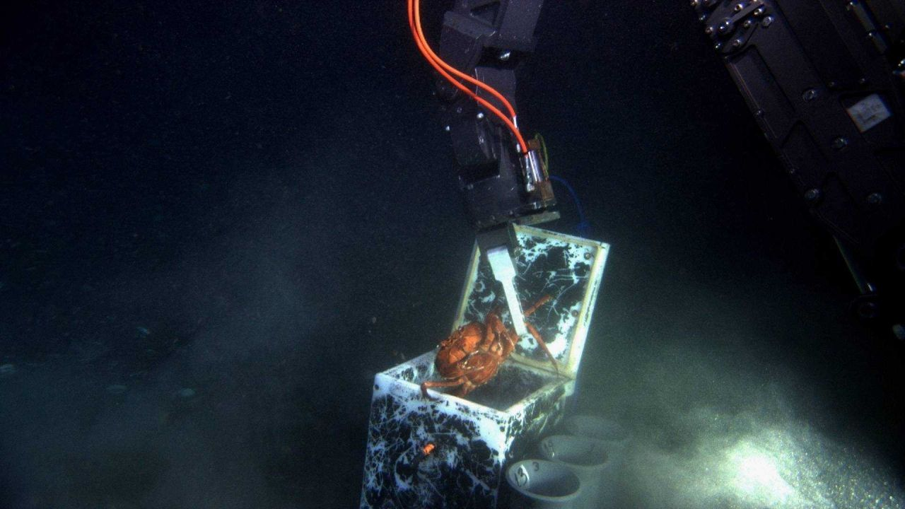 A protesting red crab (Chaceon quinquedens) being dropped into a sample box by the manipulator arm of the JASON II ROV. Photo