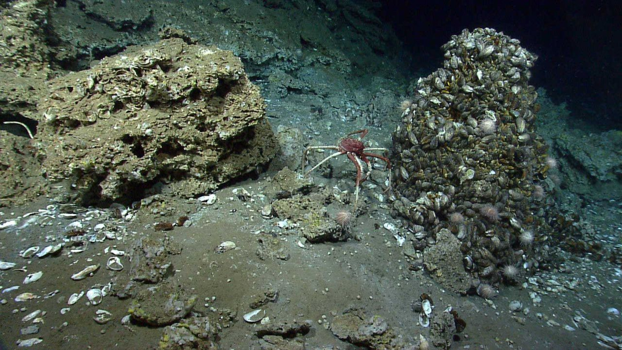 A large lithodid crab at a cold seep site with mussels, urchins, and other biota . Photo