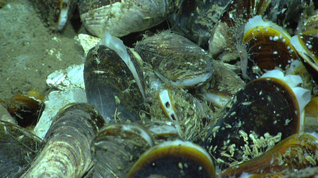 Mussels, white shrimp, and amphipods at a cold seep site. Photo