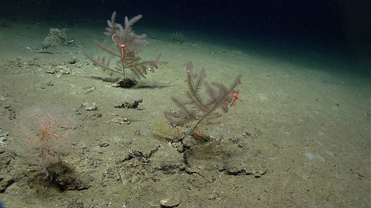 Two black coral bushes with large pink squat lobsters with long legs and chelae Photo